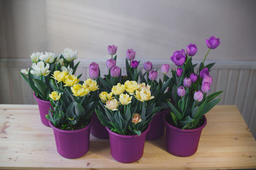 Multicolored tulips in pots on a wooden table.