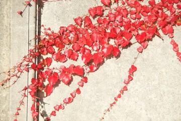 czerwony bluszcz na budynku