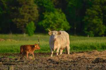 Wall Mural - Cows and calf on the pasture