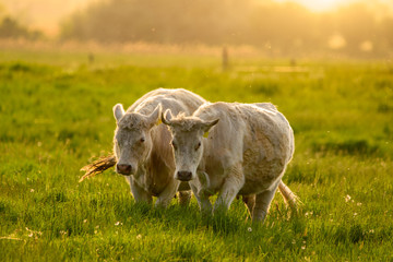 Wall Mural - Cows on the pasture sunset lights