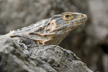 An iguana on the rocks of the coast of Manuel Antonio National Park in Costa Rica