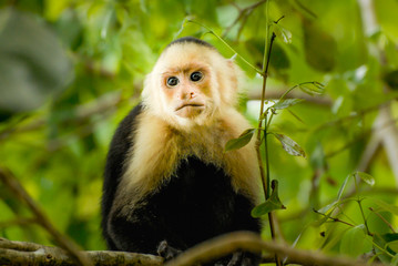 A capuchin Monkey in the green jungle of San Antonio National Park in Costa-Rica