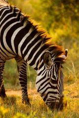 Zebra in Golden Sunlight in Ugnada
