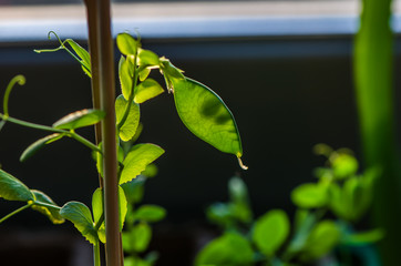 growing peas in the light