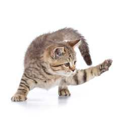 cute cat kitten clawing at the air while looking for some food