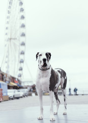 Handsome harlequin great dane at the boardwalk with Ferris wheel in the background.