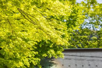 新緑の楓の葉