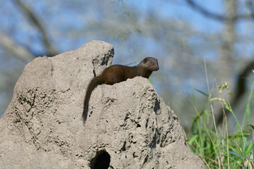 dwarf mongoose in Kruger National park in South Africa