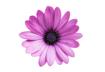 Osteospermum isolated