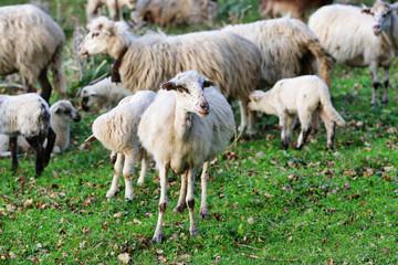 Il gregge di pecore