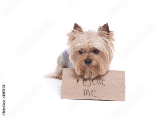 Sad Yorkshire terrier dog holding a rescue me sign