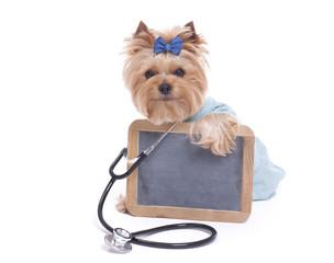 Yorkshire Terrier Veterinarian holding a Blank Chalk Board