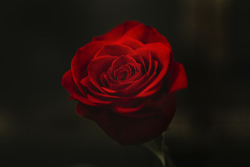 Close-up of red rose blooming outdoors at night