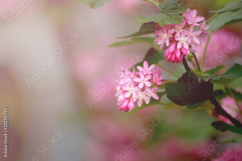 Pink flowering currant ribes sanguineum stock photo and royalty pink flowering currant ribes sanguineum mightylinksfo