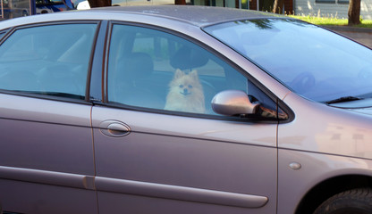 Beautiful pomeranian dog in car. waiting and closed. Alone.