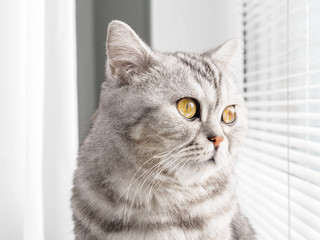 close-up portrait of a cat looking out the window. Scottish tabby color