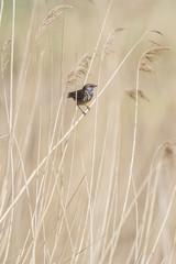 Bluethroat (Luscinia svecica) sitting on reed stem.
