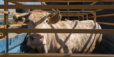 blonde d'aquitaine cow ready for transport in cart on farm