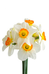 Photo sur Aluminium Narcissus flowers isolated on white background