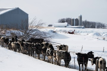 Dairy Cattle by the Fence