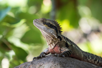 Eastern dragon lizard sitting on a rock against the green background