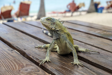 Green Iguana Sitting on a Picnic Table on Blue Bay Beach in Curacao, Caribbean Wall mural