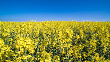 Flowering rapeseed in spring landscape. Brassica napus. Beautiful floral background of golden oilseed rape and azure blue sky. Idea of agriculture, farming, environmental protection.