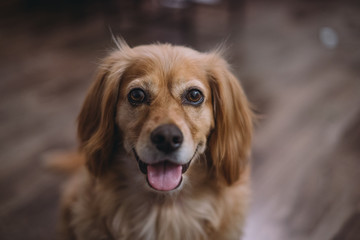 Portrait of golden dox dog smiling