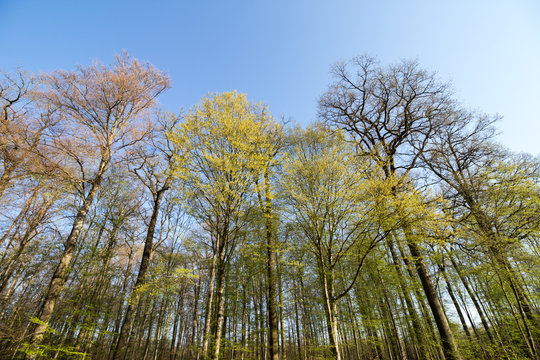 spring forest Carpinus betulus