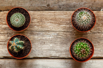 Different cactus on wooden background, ornamental plant on wood flat lay top view. Still Life Natural Three Cactus Plants on Vintage Wood Background Texture