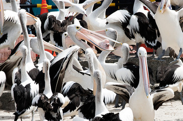 Group of pelicans being fed with one pelican holding a fish head.
