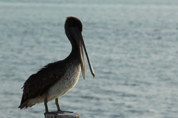 Brown headed pelican with his beak open perched on a post with water background