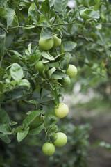 lemon tree ready to harvest
