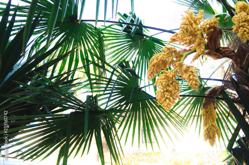 The green palm tree blooms in clusters of yellow flowers flowering the green palm tree blooms in clusters of yellow flowers flowering of tropical plants bottom mightylinksfo