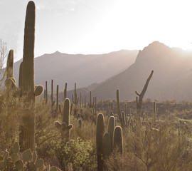 Sunrise in the Sonoran Desert with a hillside of saguaro cacti and a mountain range in the background