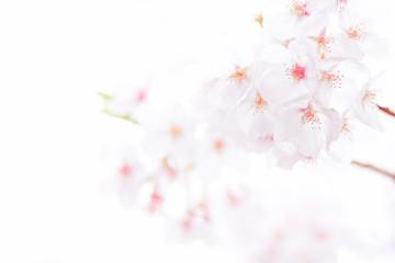 桜の花 2