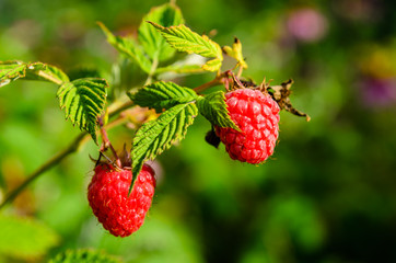 Raspberries on a bush on summer