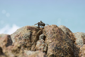 Close up , Crab up on the rock with sea background