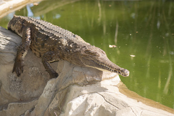 Freshwater crocodile outside during the daytime