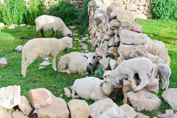 Flock of sheep and newborn lamb in the countryside.