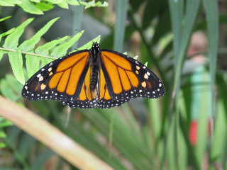 A close up view of the butterfly Danaus Plexippus with its orange and black wings open