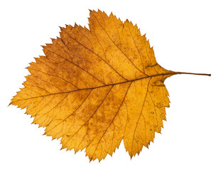 back side of yellow autumn leaf of hawthorn tree