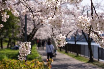 桜満開の公園の風景・春のイメージ