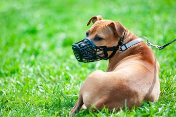 Pitbull terrier in muzzle Wall mural