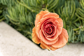 Close up of peach color rose
