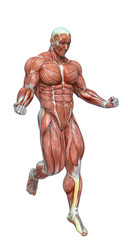 muscle man anatomy in an white background
