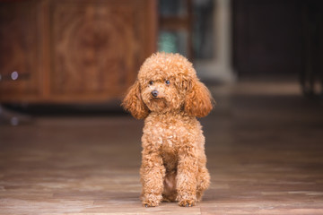 cute toy poodle standing inside house and looking outside
