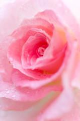 ピンクのバラ バラ ピンク