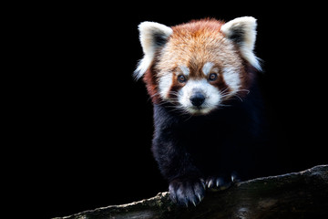 Portrait of a red panda (Ailurus fulgens) isolated on black background