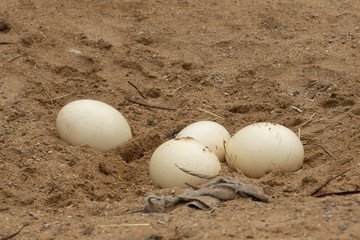 Ostrich eggs lying in sand. Struthio camelus eggs.